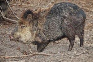 swinelike peccary